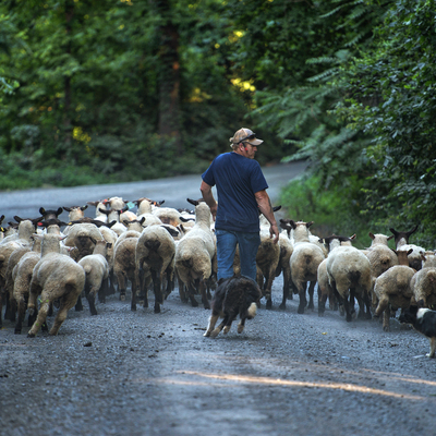 Allen Cochran guides his sheep along Foundry Road to a pasture in western Loudoun County.